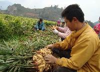 供应新鲜大姜 黄姜 生姜自产自销绿色无公害