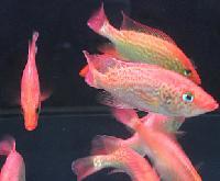 红老虎鱼苗大量供应,红老虎鱼苗场家,红老虎鱼零售