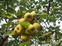 中国哪里的酥梨*吃?*安徽砀山