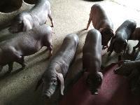 太湖黑母猪
