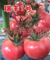 供应越冬早春耐寒西红柿种子—瑞丰1号