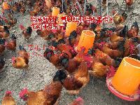 宝鸡散养肉鸡苗放养基地,散养肉鸡苗图片