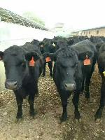 小牛犊今年价格