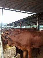今年的鲁西黄牛多少钱一斤计算