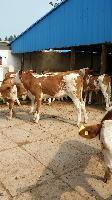 200斤小牛犊价格