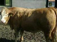 西门塔尔小牛的价格