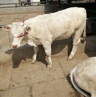 2000斤夏洛莱牛价格多少钱图片