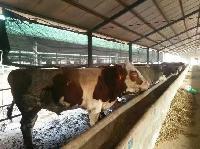 西门塔尔肉牛图片$小牛犊多少钱一