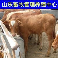 改良肉牛犊较新价格表