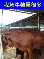 利木赞牛多少钱一头售价养殖