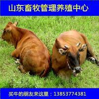肉牛牛犊多少钱一斤合计价钱