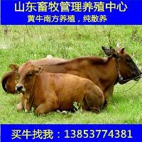 山东荷泽养牛基地