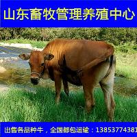 小母牛苗牛犊价格