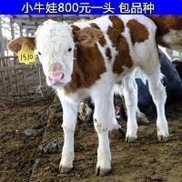 西门塔尔架子牛价格今年走向趋势