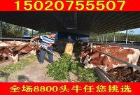 杂交改良肉牛的快速育肥法