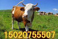 辽宁夏洛莱牛哪里有卖