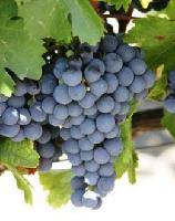 西班牙红葡萄浓缩汁 另有美国康科德Concord葡萄汁