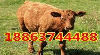 改良肉牛多少钱一头