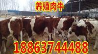西门塔尔牛牛犊价格多少
