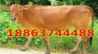 西门塔尔肉牛犊批发价格