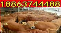 300斤夏洛莱牛犊价格