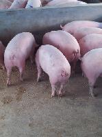 鄂美猪种改良公司(PIC)高繁康贝尔L42母猪