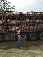 鄂美种猪落户福清东阁农场