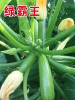 供应早春秋延迟高产西葫芦种子—绿霸王