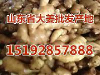 哪里的生姜种子价格便宜 哪里生姜种质量好