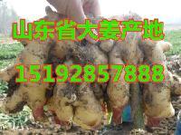 山东省生姜产地价格 今年最新生姜产地价格报价详情