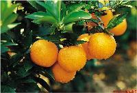 脐橙树苗哪里有卖的