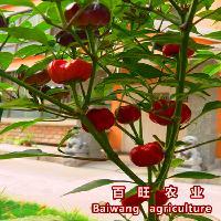 观赏辣椒种子 五彩椒种子 五彩椒种子