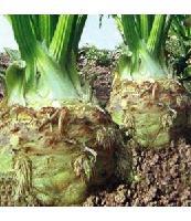 进口批发根芹种子 芹菜种子 可快递发货 10克