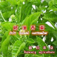 防馊香菜种子 驱蚊特菜种子 10克