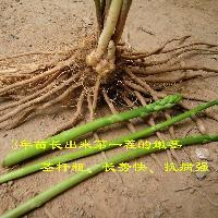 进口芦笋种苗四季紫色芦笋种子 *,2000-3,阿波罗多年生苗