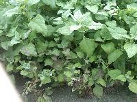 特色蔬菜高产、抗病 番杏种子、新西兰菠菜种子