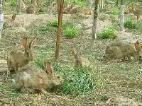 杂交野兔果勇养殖场常年对外销售/回收兔子 你养我销养殖无忧