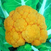 黄色花菜种子,紫花菜种子,宝塔花菜种子
