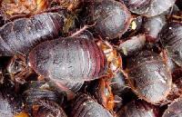 品质土元提取物 土鳖虫提取物 地鳖虫粉