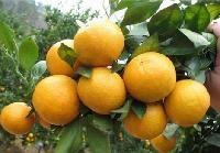哪里有鹿寨蜜橙苗出售