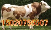 怎样喂养肉牛长的更快