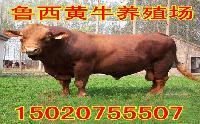 全国肉牛价格行情