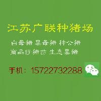 江苏省黑猪苗