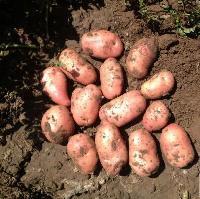 荷兰十四号土豆种子