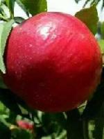 春丽 春晓 中油18 19桃树苗---山东平邑康源果品苗木基地