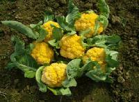 黄色花菜种子,紫色花菜种子,宝塔花菜种子