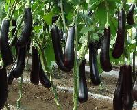 宏鸿有机蔬菜配送|有机蔬菜茄子