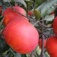 大量提供血橙苗出售