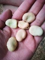 批发蚕豆农家自产 产地直销白皮蚕豆五谷杂粮袋装