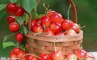 农产品蔬菜食材配送一站式采购配送食堂配送服务--樱桃